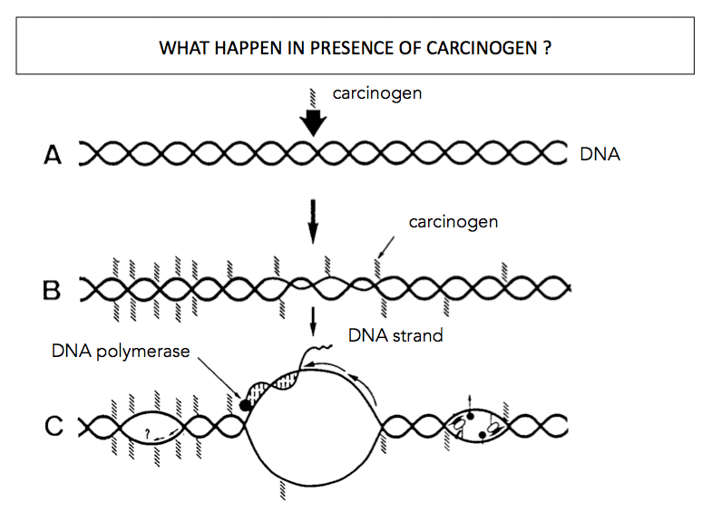 Carcinogens impacts on DNA